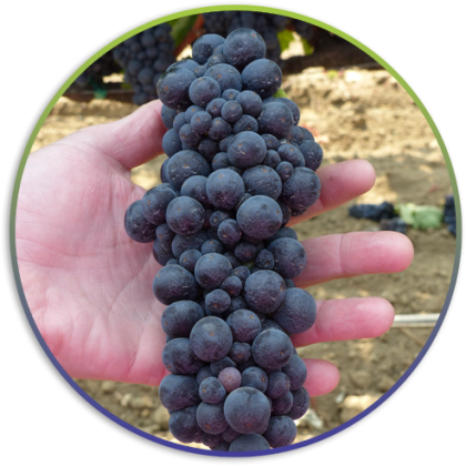 grapes-in-hand